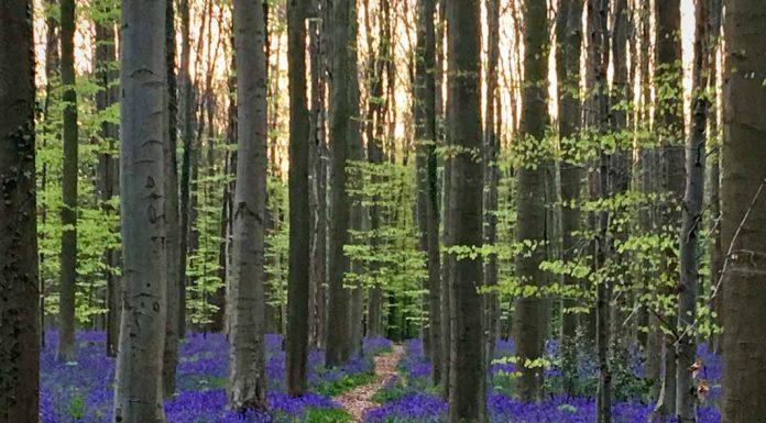 Paseo con flores azules Bosque de Halle