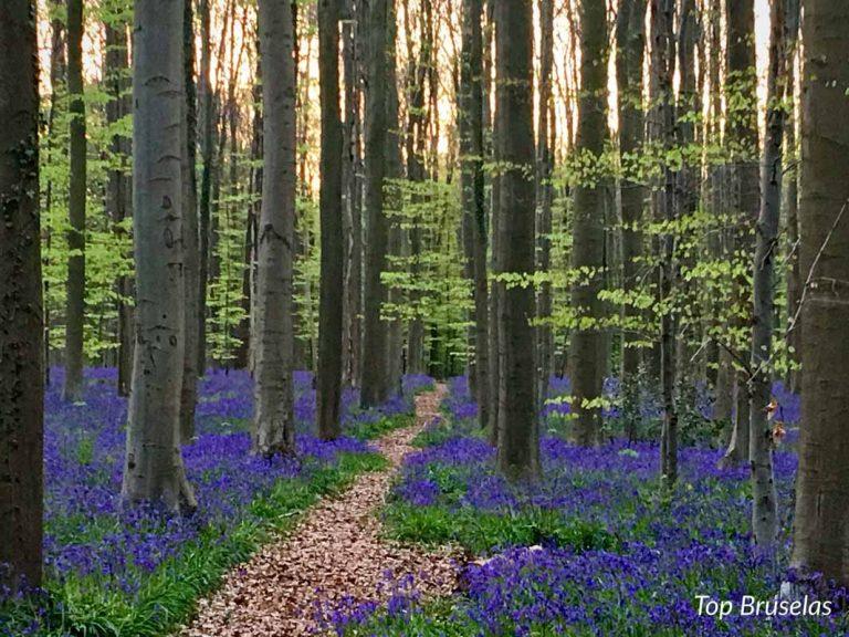 Bosque de Halle, el mágico bosque azul